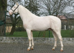 horse_perlino_kinsky-big.jpg